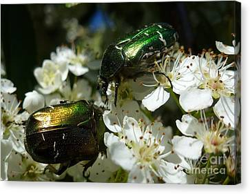 Canvas Print featuring the photograph Two Scarabs Metallic Green by Jean Bernard Roussilhe