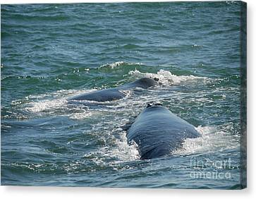 Two Southern Right Whale Breaching Canvas Print