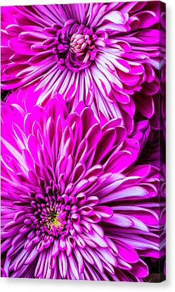 Two Spider Mums Canvas Print by Garry Gay