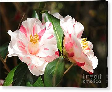 Two Striped Camellias Canvas Print by Carol Groenen