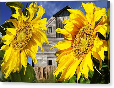 Two Sunflowers Canvas Print by Donald  Erickson