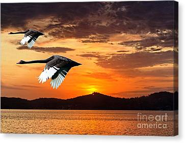 Two Swans In Full Flight At Dawn.   Canvas Print by Geoff Childs