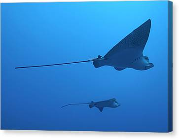 Two Swimming Spotted Eagle Rays Underwater Canvas Print