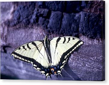 Two Tail Swallowtail Canvas Print by Chris Gudger