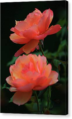 Two Tangerine Roses Canvas Print