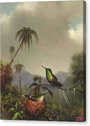 Two Thorn-tails. Langsdorffs Thorn-tail. Brazil Canvas Print by Martin Johnson Heade