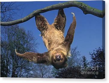 Two Toed Sloth Choloepus Didactylus Canvas Print