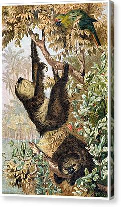 Two-toed Sloth Canvas Print by Otis Porritt