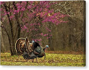 Two Tom Turkey And Redbud Tree Canvas Print