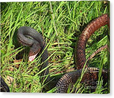 Two Toned Coachwhip Snake Canvas Print