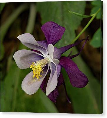 Canvas Print featuring the photograph Two Toned Columbine by Jean Noren