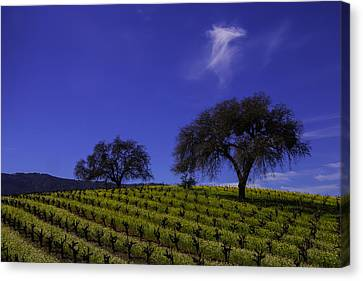 Two Trees In Vineyard Canvas Print