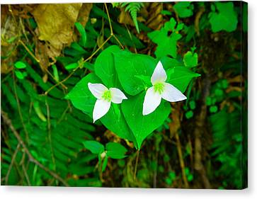 Two Trilliums  Canvas Print by Jeff Swan