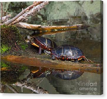 Two Turtles Canvas Print by Donna Cavanaugh