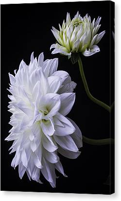 Large White Flower Canvas Print - Two White Large Dahlias by Garry Gay