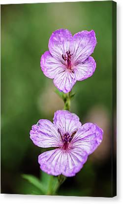 Macro Geranium Flower Canvas Print - Two Wild Geraniums by Vishwanath Bhat