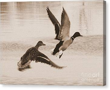 Two Winter Ducks In Flight Canvas Print by Carol Groenen