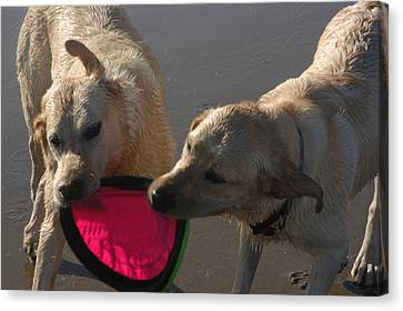 Two Yellow Labs Tug At The Frizbee Canvas Print by Stacy Gold