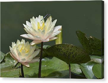 Two Yellow Water Lilies Canvas Print by Linda Geiger