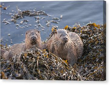 Two Young European Otters Canvas Print