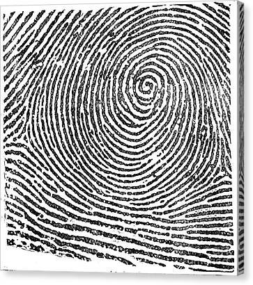 Typical Whorl Pattern In 1900 Canvas Print by Science Source