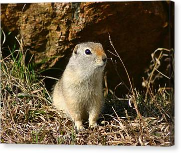 Canvas Print featuring the photograph Uinta Ground Squirrel by Perspective Imagery