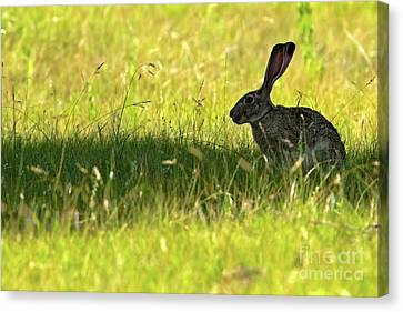 Umbral Hare Canvas Print by Gary Holmes