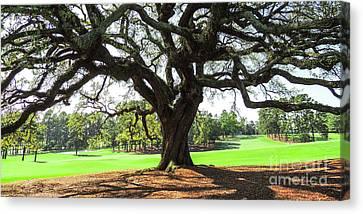 Under An Augusta Oak Canvas Print
