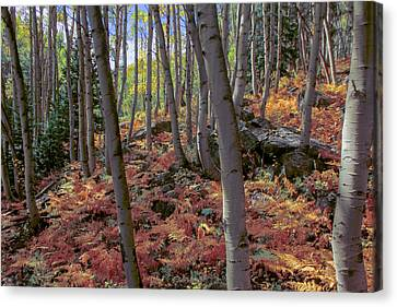 Under The Aspens Canvas Print