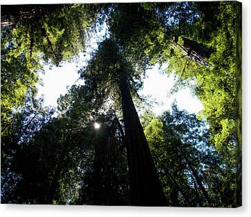 Under The Redwoods Canvas Print by K Bradley Washburn