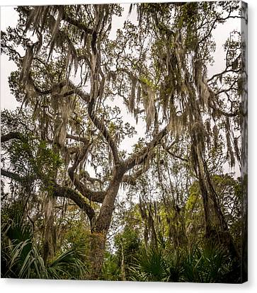 Under The Shade Of A Georgia Live Oak Canvas Print by Chris Bordeleau