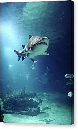 Underwater View Of Shark And Tropical Fish Canvas Print by Rich Lewis