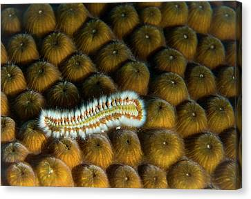 Canvas Print featuring the photograph Undulating Bristle Worm by Jean Noren
