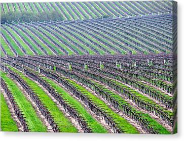 Undulating Vineyard Rows Canvas Print