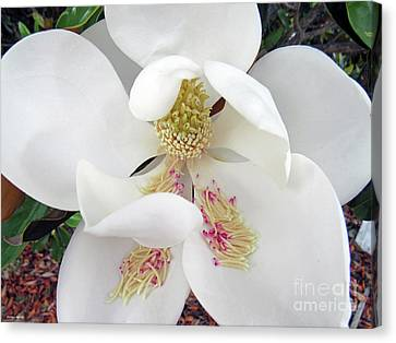 Unfolding Beauty Of Magnolia Canvas Print