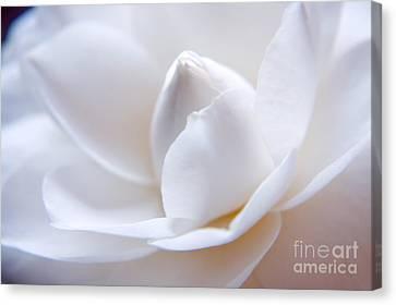 Unfolding Camellia Canvas Print