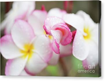 Unfolding Plumeria Blossom Canvas Print by Charmian Vistaunet
