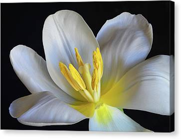Canvas Print featuring the photograph Unfolding Tulip. by Terence Davis