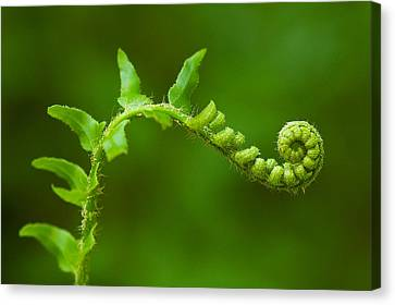 Unfurling Fern. Canvas Print by Ulrich Burkhalter