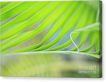 Unfurling Palm Leaf Macro Canvas Print by Charmian Vistaunet