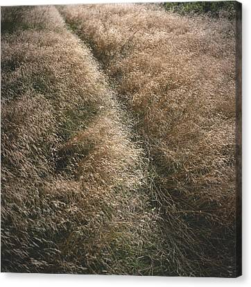 United States, Marin County Wild Grass Canvas Print by Keenpress