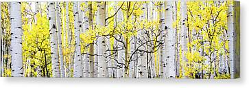 Unititled Aspens No. 6 Canvas Print by The Forests Edge Photography - Diane Sandoval