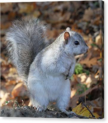 Canvas Print featuring the photograph Unusual White And Gray Squirrel by Doris Potter