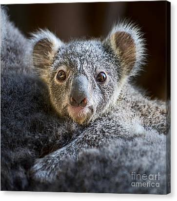 Up Close Koala Joey Canvas Print