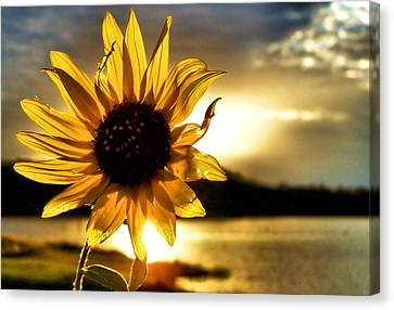 Digital Sunflower Canvas Print - Up Lit by Karen Scovill
