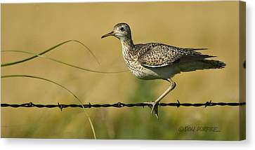 Canvas Print featuring the photograph Uplland Sandpiper by Don Durfee
