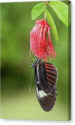 Canvas Print featuring the photograph Upon A Red Blossom by Dawn Currie