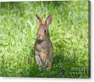 Canvas Print featuring the photograph Upright Rabbit by Chris Scroggins