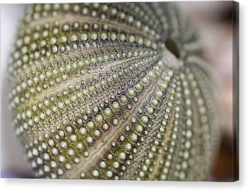 Urchin Texture Canvas Print by Laura George
