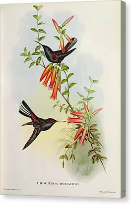 Humming Birds Canvas Print - Urochroa Bougieri by John Gould